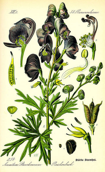 Illustration_Aconitum_napellus0
